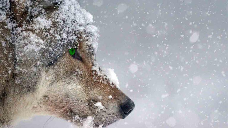 Podcast audio - Les loups (Extrait de la nouvelle)